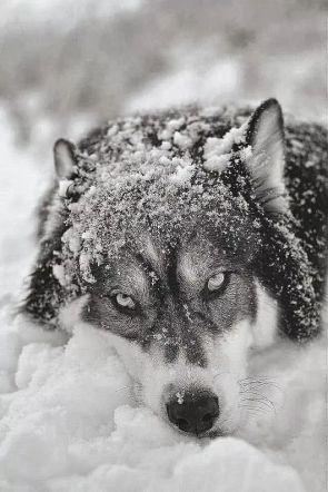 Un Cuento De Hermann Hesse El Lobo Der Wolf El Vuelo De La